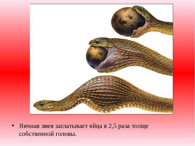 Яичная змея заглатывает яйца в 2,5 раза толще собственной головы.