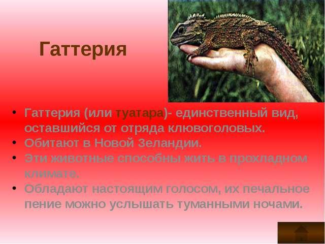 Гаттерия Гаттерия (или туатара)- единственный вид, оставшийся от отряда клюво...