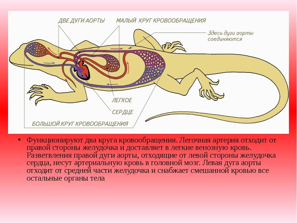 Функционируют два круга кровообращения. Легочная артерия отходит от правой ст...