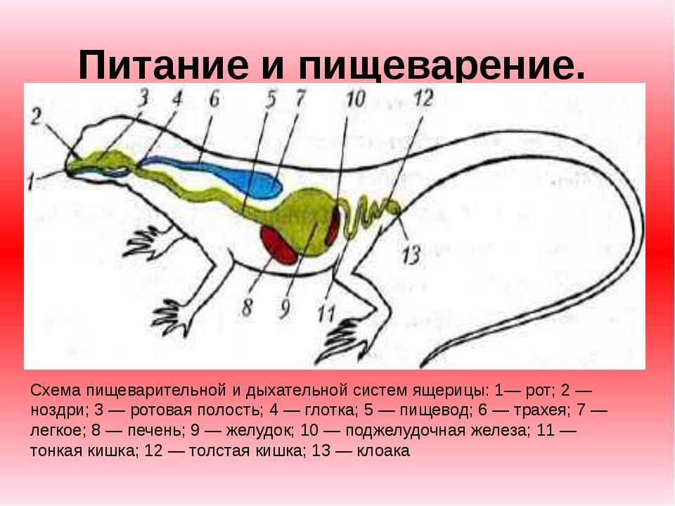 Питание и пищеварение. Схема пищеварительной и дыхательной систем ящерицы: 1...