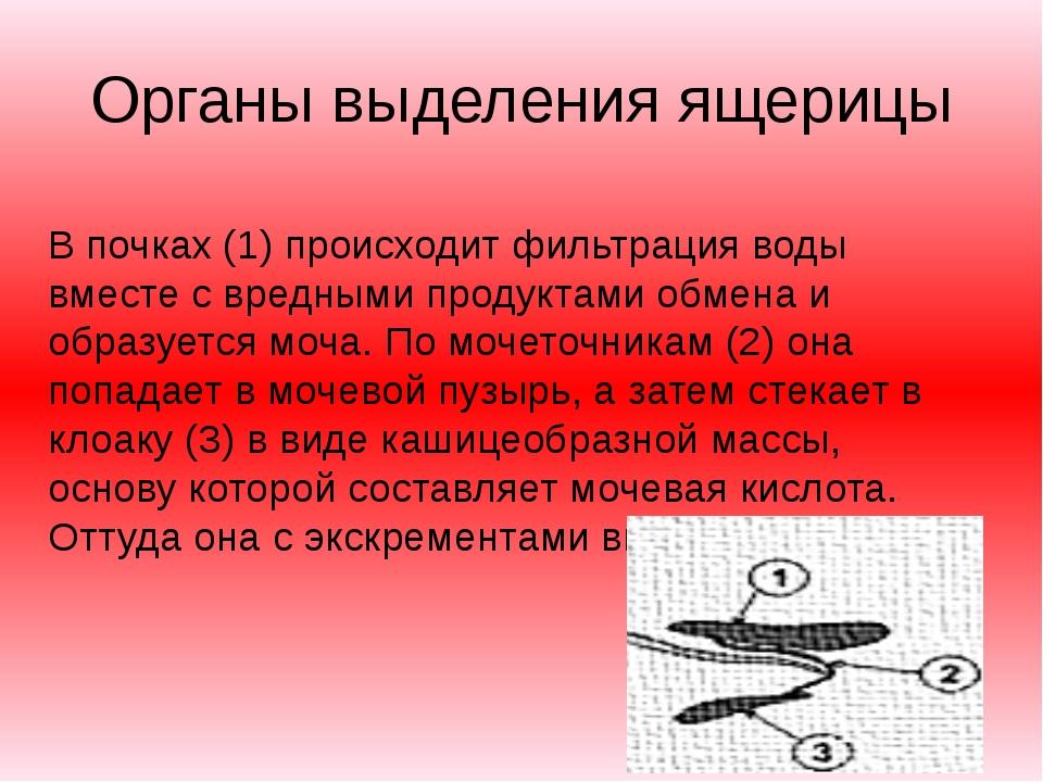 Органы выделения ящерицы В почках (1) происходит фильтрация воды вместе с вре...