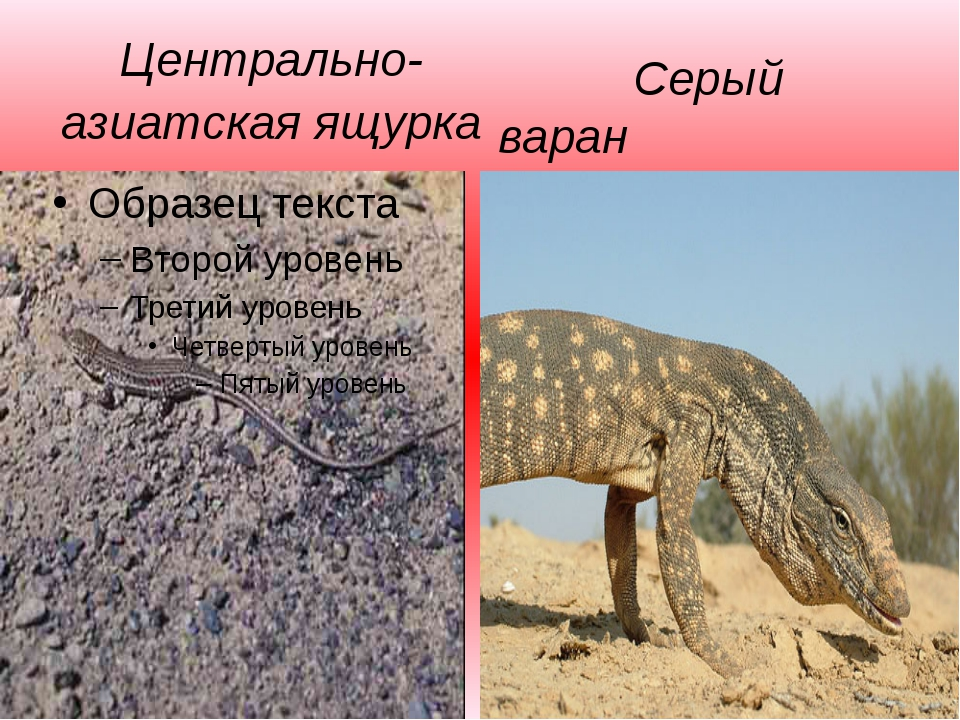 Центрально-азиатская ящурка Серый варан