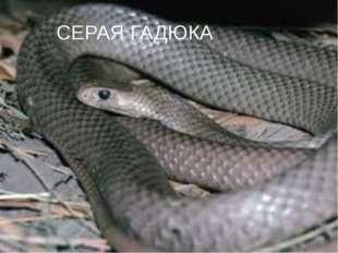 СЕРАЯ ГАДЮКА
