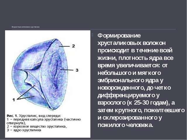 Возрастные измененияхрусталика Формирование хрусталиковыхволокон происходи...