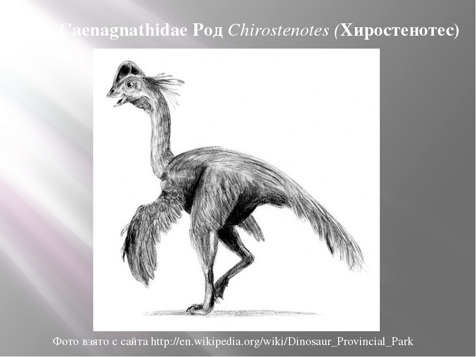 Сем. Caenagnathidae Род Chirostenotes (Хиростенотес) Фото взято с сайта http:...