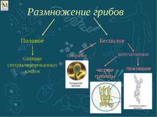 Половое слияние специализированных клеток спорами вегетативное частями грибни
