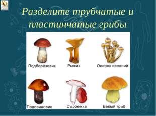 Разделите трубчатые и пластинчатые грибы
