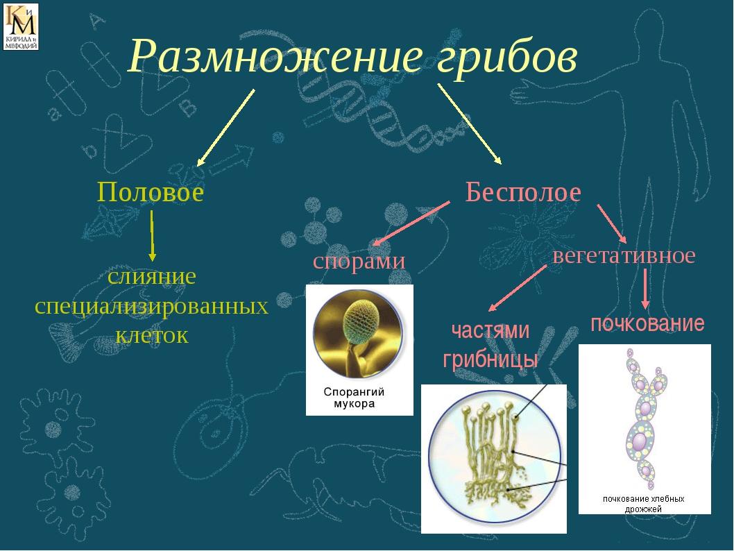 Половое слияние специализированных клеток спорами вегетативное частями грибни...