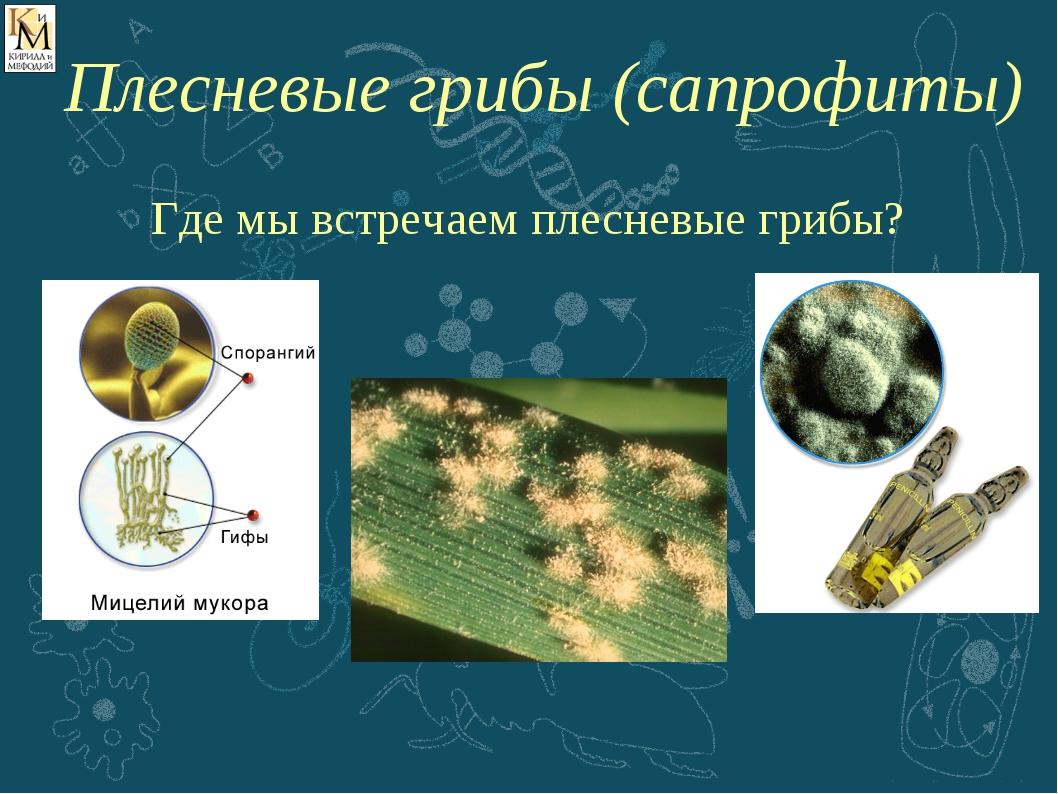 Где мы встречаем плесневые грибы? Плесневые грибы (сапрофиты)