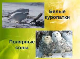 Белые куропатки Полярные совы