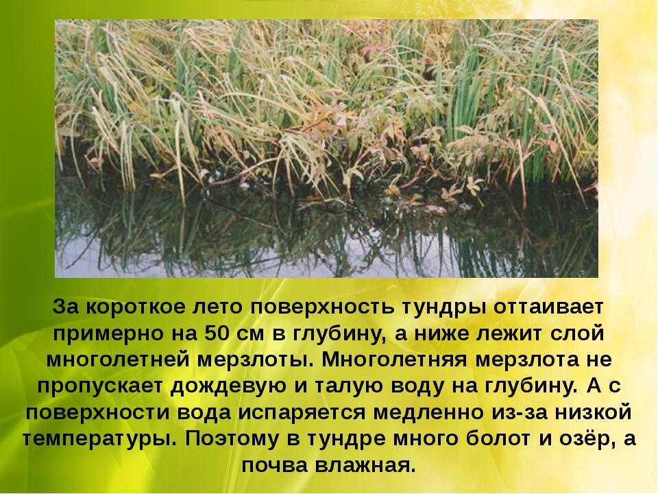 За короткое лето поверхность тундры оттаивает примерно на 50 см в глубину, а...