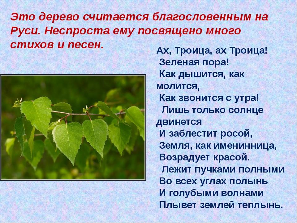 Это дерево считается благословенным на Руси. Неспроста ему посвящено много с...