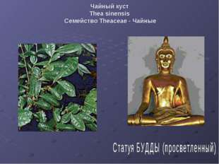 Чайный куст Thea sinensis Семейство Theaceae - Чайные