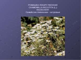 РОМАШКА ЛЕКАРСТВЕННАЯ CHAMOMILLA RECUTITA (L.) RAUSCHERT Семейство Asteraceae