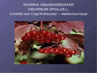 КАЛИНА ОБЫКНОВЕННАЯ VIBURNUM OPULUS L. Семейство Caprifoliaceae – жимолостные