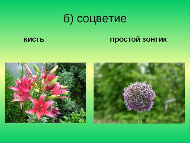 б) соцветие кисть простой зонтик