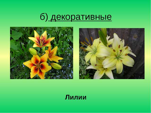 б) декоративные Лилии
