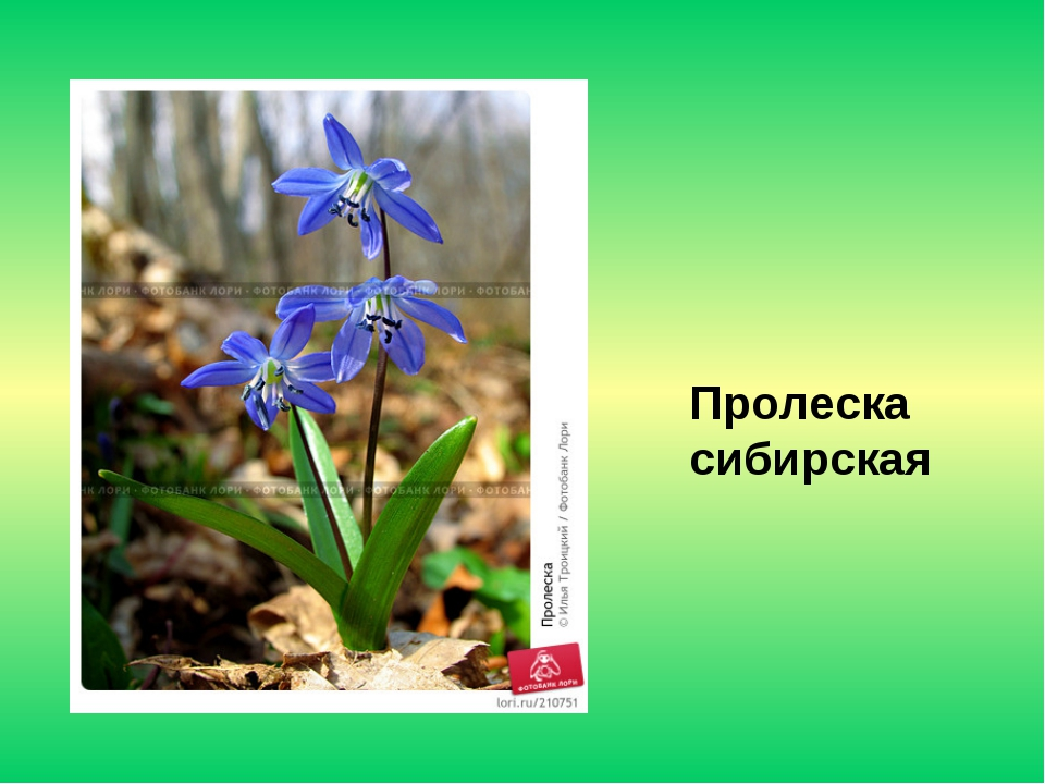 Пролеска сибирская