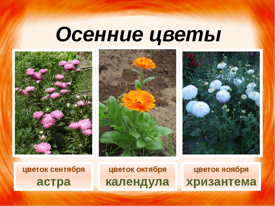 Осенние цветы цветок октября календула цветок ноября хризантема цветок сентяб...