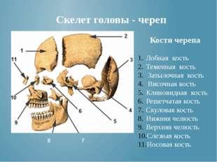 Кости черепа Лобная кость Теменная кость Затылочная кость Височная кость Клин