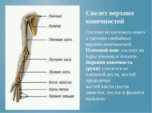 Состоит из плечевого пояса и скелета свободных верхних конечностей. Плечевой