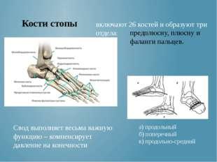 Кости стопы Свод выполняет весьма важную функцию – компенсирует давление на к