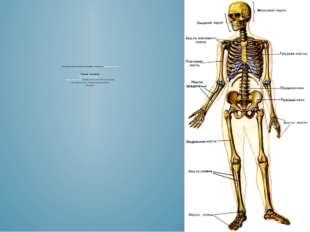 К опорно-двигательному аппарату относятся мышцы и кости Скелет человека (др.
