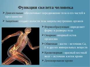 Функции скелета человека Двигательная: обеспечивает передвижение тела и его ч