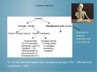 Верхних и нижних конечностей и их поясов Отделы скелета В состав скелета взро