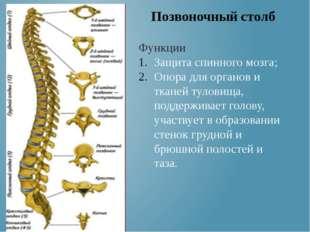 Функции Защита спинного мозга; Опора для органов и тканей туловища, поддержив