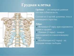 Грудная клетка Грудина — это непарная длинная плоская губчатая кость. Состоит
