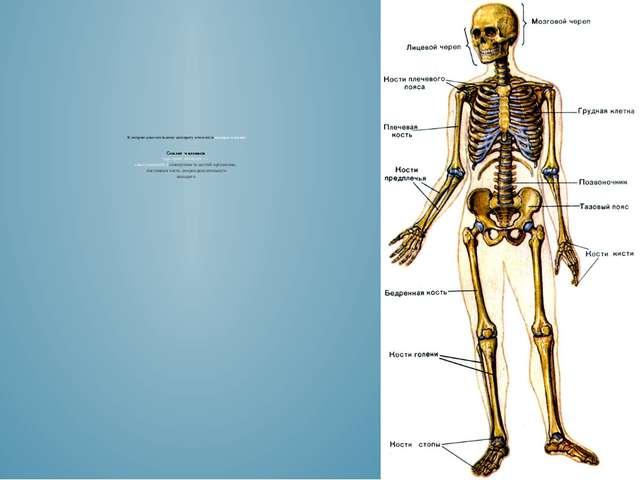 К опорно-двигательному аппарату относятся мышцы и кости Скелет человека (др....