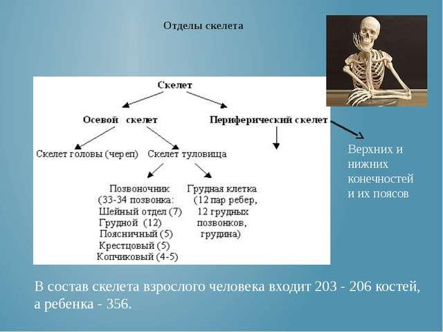 Верхних и нижних конечностей и их поясов Отделы скелета В состав скелета взро...