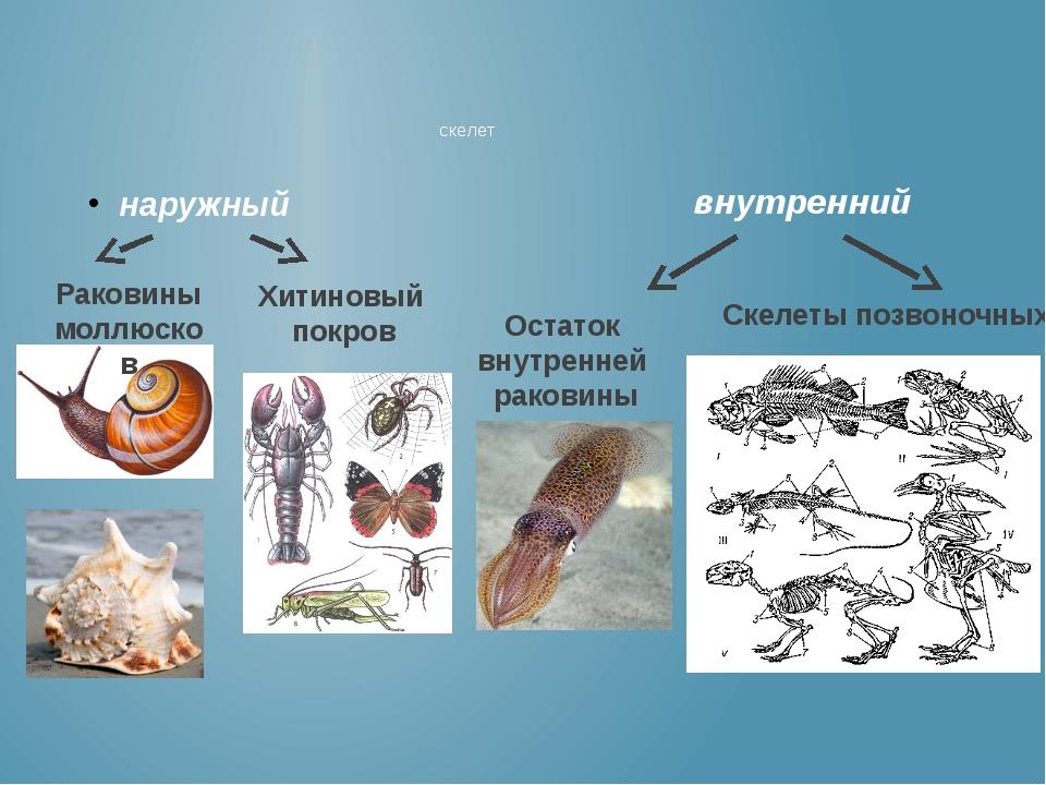 наружный скелет внутренний Раковины моллюсков Хитиновый покров Скелеты позвон...