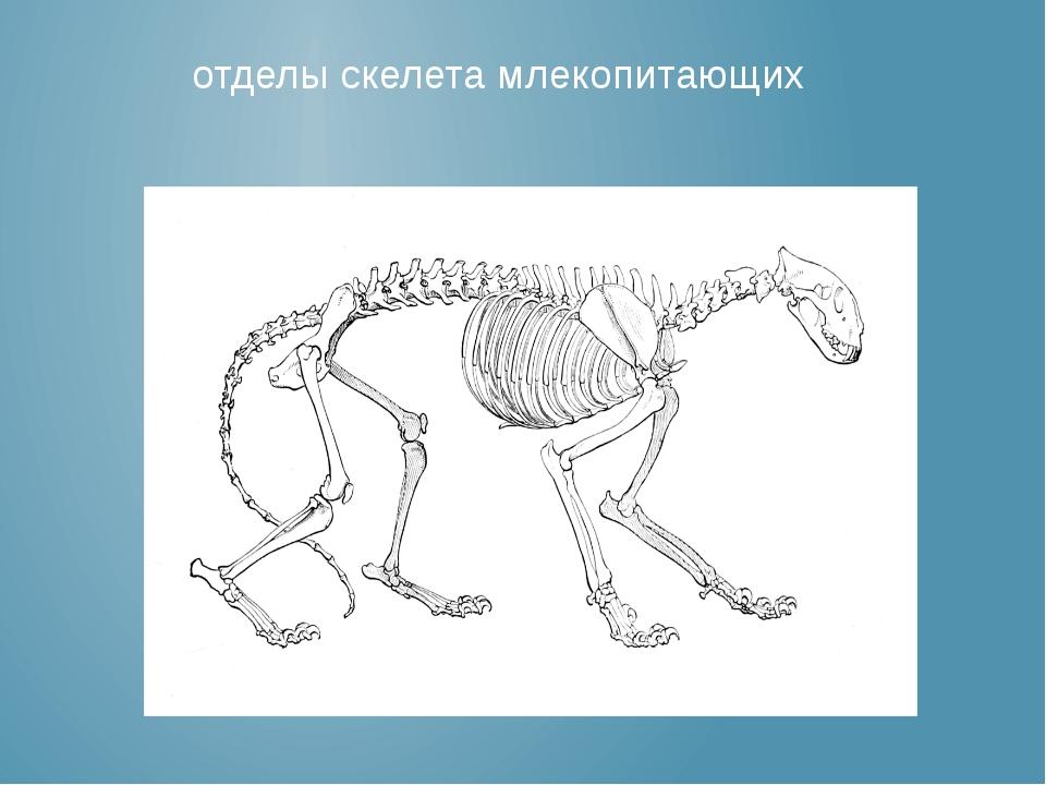 отделы скелета млекопитающих