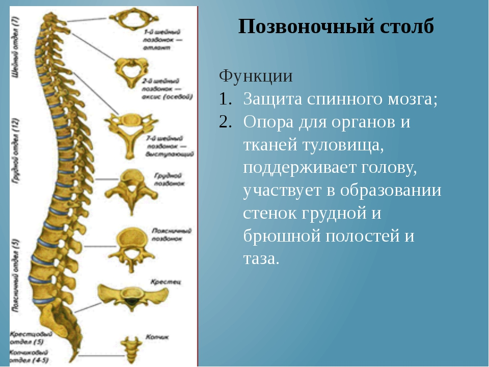 Функции Защита спинного мозга; Опора для органов и тканей туловища, поддержив...