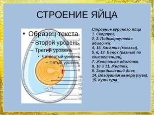 СТРОЕНИЕ ЯЙЦА Строение куриного яйца 1. Скорлупа, 2, 3. Подскорлуповая оболоч