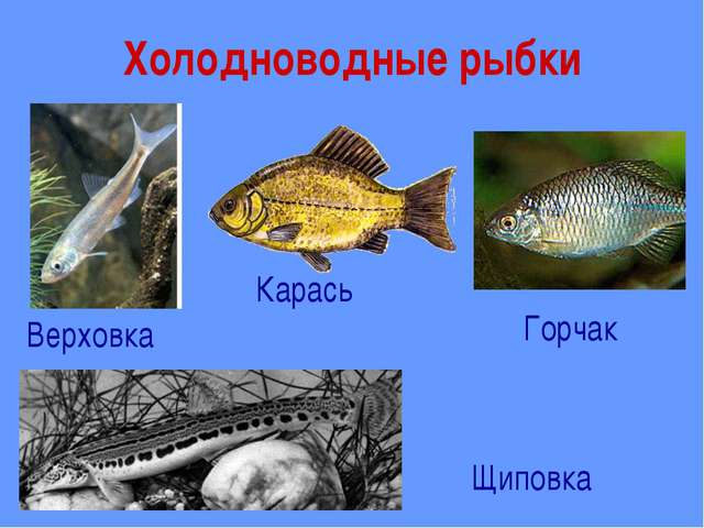 Холодноводные рыбки Верховка Карась Горчак Щиповка