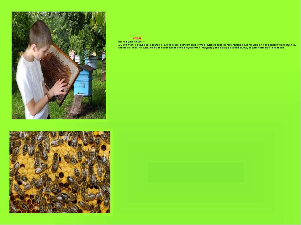 Улей Всего в улье 60 000 – 120 000 пчел. У пчел много врагов и нахлебников,...
