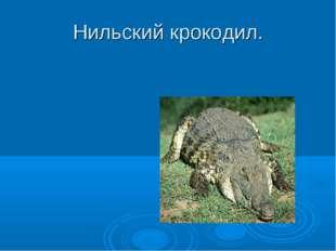 Нильский крокодил.