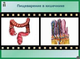 Пищеварение в кишечнике Полужидкая пищевая кашица из желудка отдельными порци