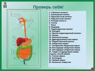 Проверь себя! 1. Слюнные железы: 2. Околоушная железа 3. Подчелюстная железа