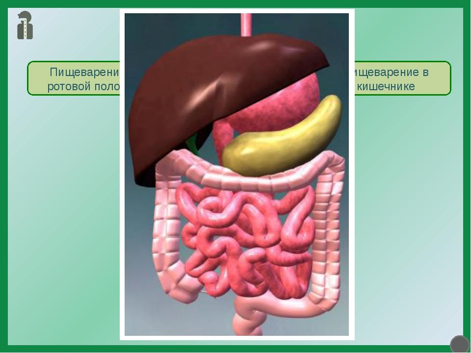 Пищеварение в желудке Пищеварение Пищеварение в ротовой полости Пищеварение в...
