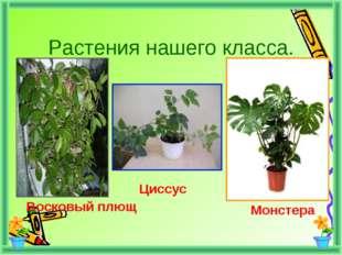 Растения нашего класса. Восковый плющ Циссус Монстера