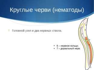 Круглые черви (нематоды) Головной узел и два нервных ствола. 6 – нервное коль
