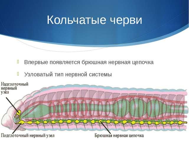 Кольчатые черви Впервые появляется брюшная нервная цепочка Узловатый тип нерв...