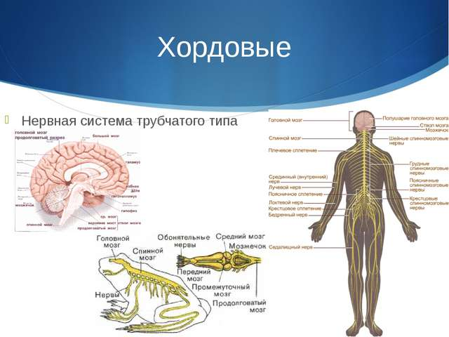 Хордовые Нервная система трубчатого типа
