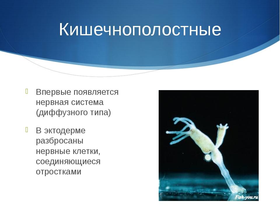 Кишечнополостные Впервые появляется нервная система (диффузного типа) В эктод...
