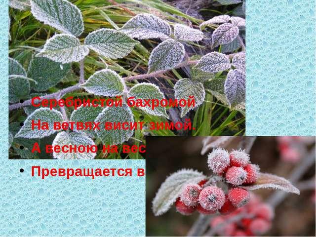 Серебристой бахромой На ветвях висит зимой. А весною на весу Превращается в...