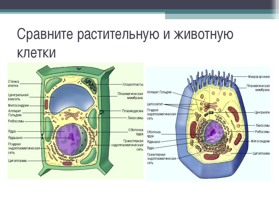 Сравните растительную и животную клетки